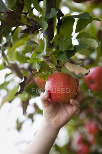 Person holding and picking one apple — Stock Photo