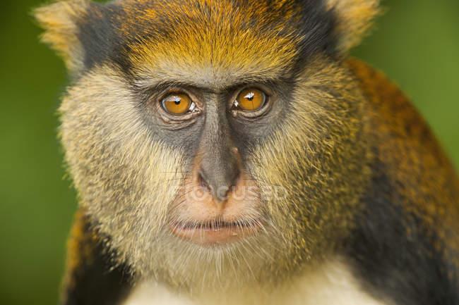 Mona monkey muzzle — Stock Photo