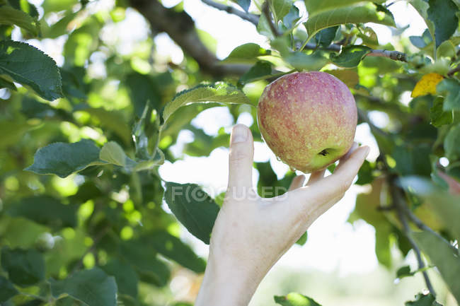 Female hand reaching for fresh apple — Stock Photo