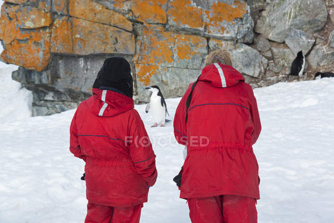 People looking at a Chinstrap Penguin — Stock Photo