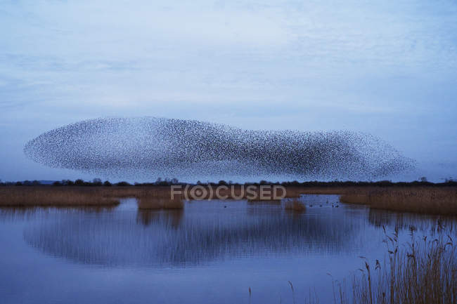 Murmuration of starlings flight at dusk over the countryside. — Stock Photo