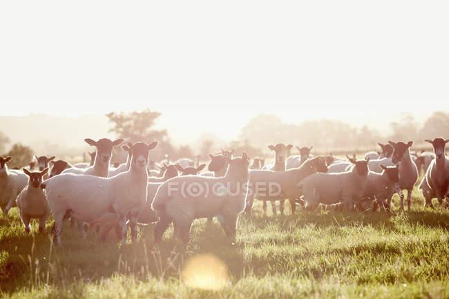 Schafherde auf einem Feld — Stockfoto