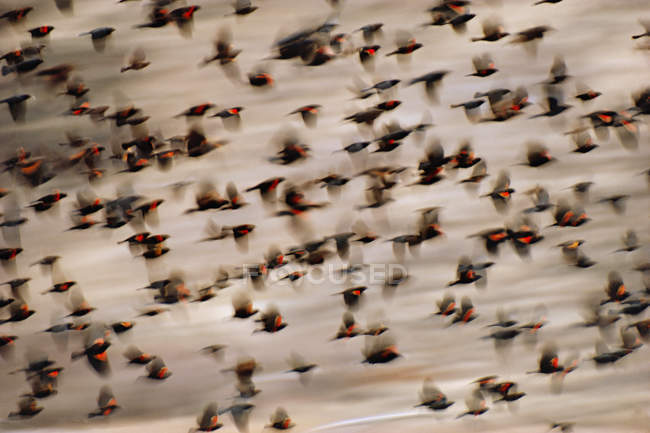 Red-winged blackbirds taking flight — Stock Photo