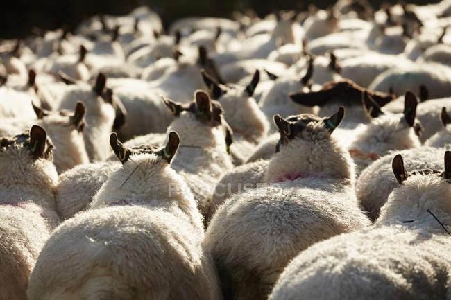 Стадо овец с широкими спинами — стоковое фото