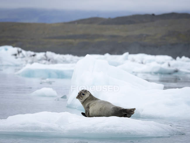 Seal at Glacial lake — Stock Photo