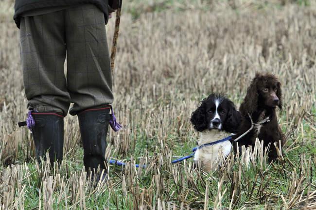 Zwei ausgebildete Schießhunde — Stockfoto