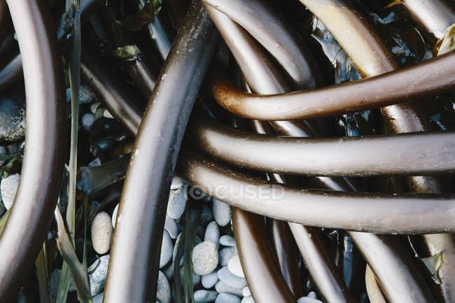 Haufen von Bull Kelp — Stockfoto