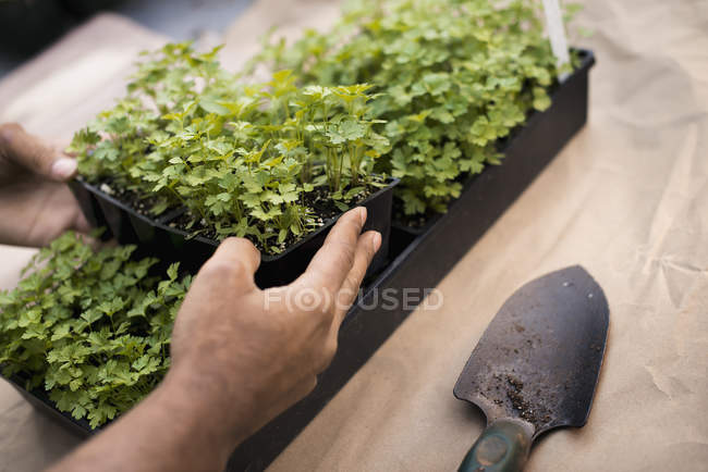 Bio glatte Petersilie Pflanzen — Stockfoto