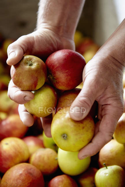 Person sorting apples. — Stock Photo