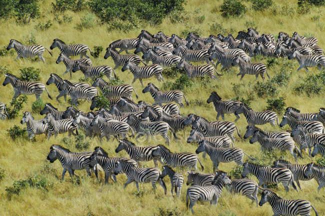 Zebre la migrazione, Equus quagga — Foto stock