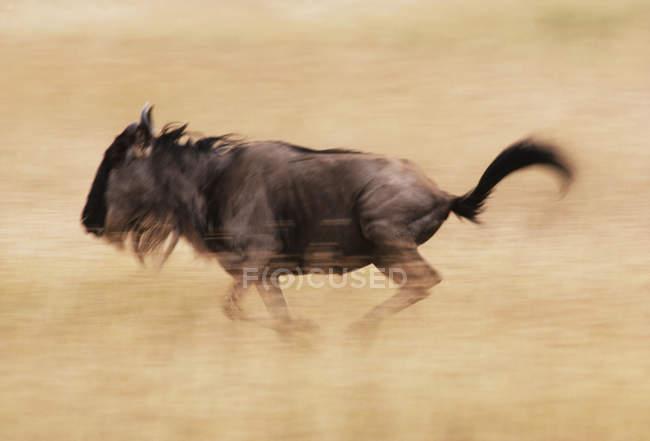 GNU azzurro in esecuzione — Foto stock