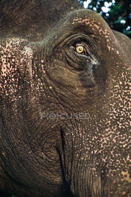 Бытовая азиатская морда слона — стоковое фото