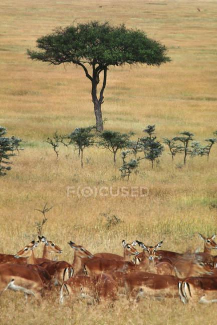 Impala e Aepyceros melampus — Foto stock