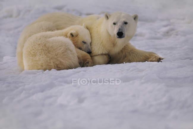 Filhote e mãe urso polar — Fotografia de Stock