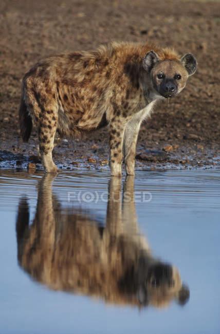 Hiena manchada en agua - foto de stock