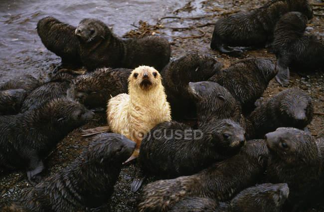 Antarctic fur seal pups — Stock Photo