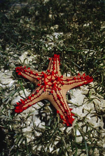 Seastar, Protorcaster lincki, dans l'herbe marine — Photo de stock