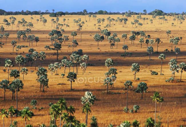 Palmera sabana, sur de Madagascar - foto de stock