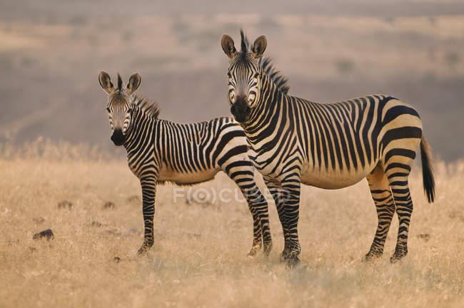 Две горы зебр — стоковое фото