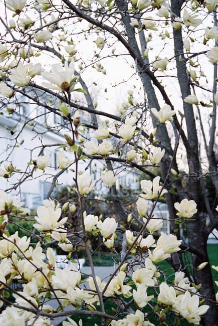 Albero di Magnolia con grandi fiori cremosi — Foto stock