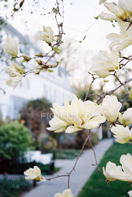 Магнолія дерево з великими вершковий цвітіння — стокове фото