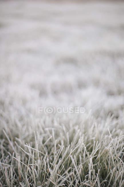 Geada leve na grama. — Fotografia de Stock