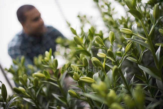 Hombre trabajando en un gran invernadero - foto de stock