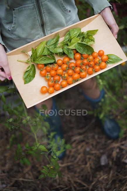 Plateau en bois de tomates-cerises rouges — Photo de stock