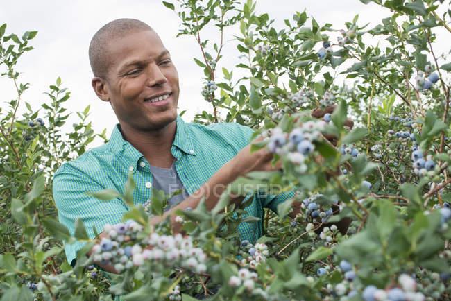 Man picking  blueberries — Stock Photo