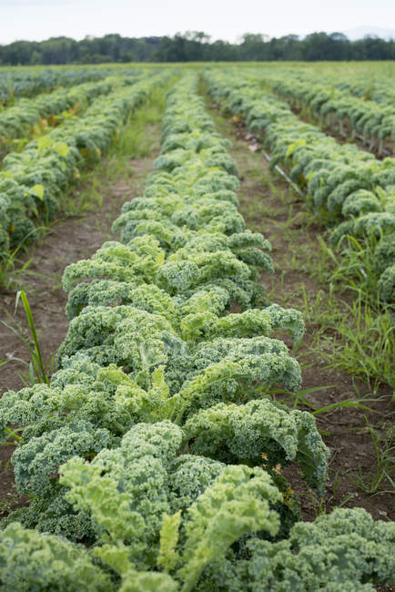Rows of curly green vegetable plants — Stock Photo