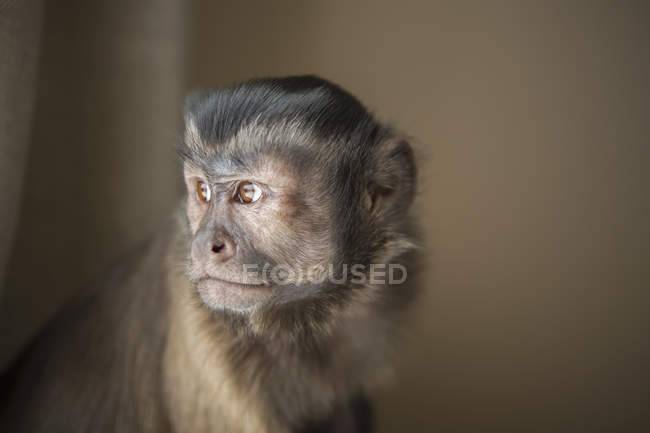 Capuchin monkey seated — Stock Photo