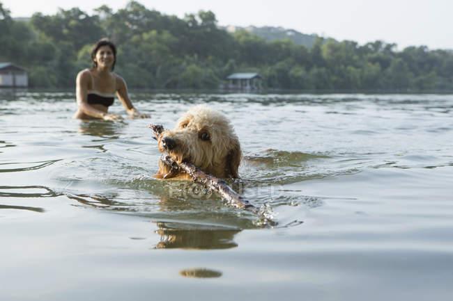 Собака Лабрадор, плавание с палкой — стоковое фото