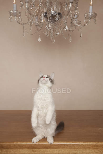 Cat under a chandelier — Stock Photo
