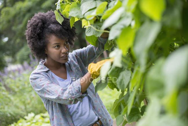 Женщина сбор зеленой фасоли — стоковое фото