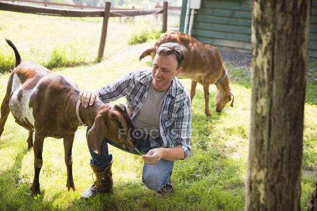 Man in paddock with two large goats — Stock Photo