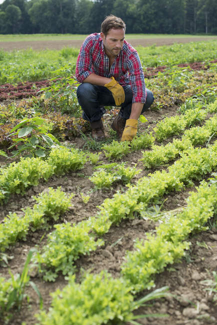 Man in a field of small salad plants — Stock Photo