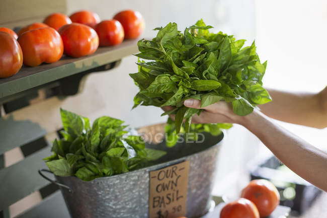 Holding fresh basil leaves. — Stock Photo