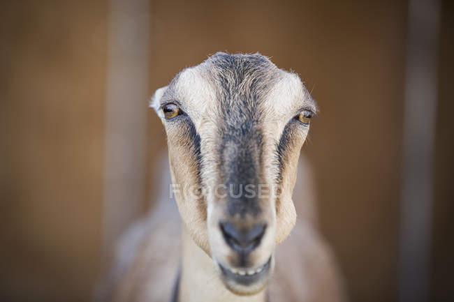 Chèvre fixer à travers les barres — Photo de stock
