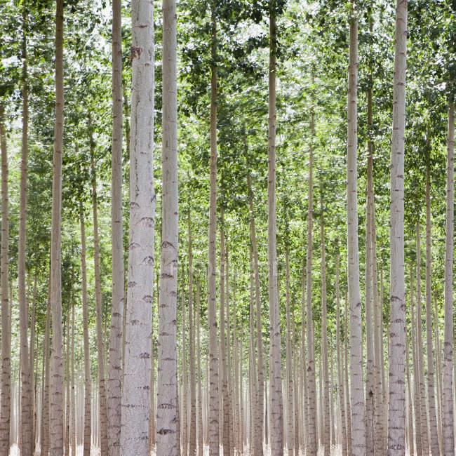 Poplar trees plantation — Stock Photo