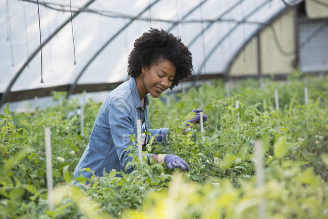 Woman working in glasshouse — Stock Photo