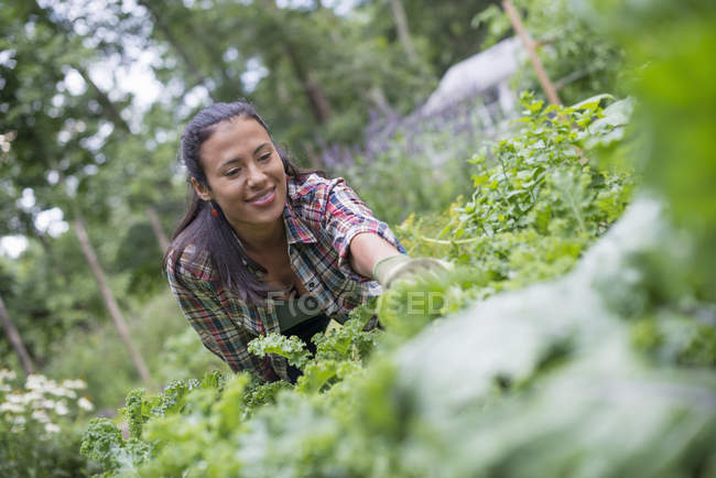 Woman leaning to pick fresh herbs — Stock Photo