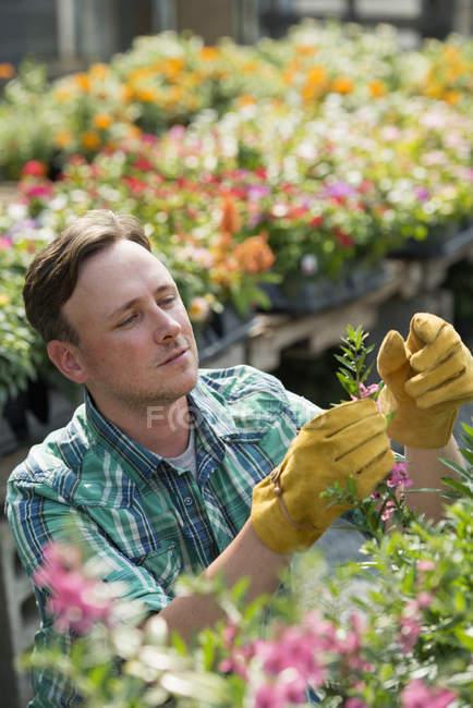 Людина, що працюють в органічних розплідник — стокове фото