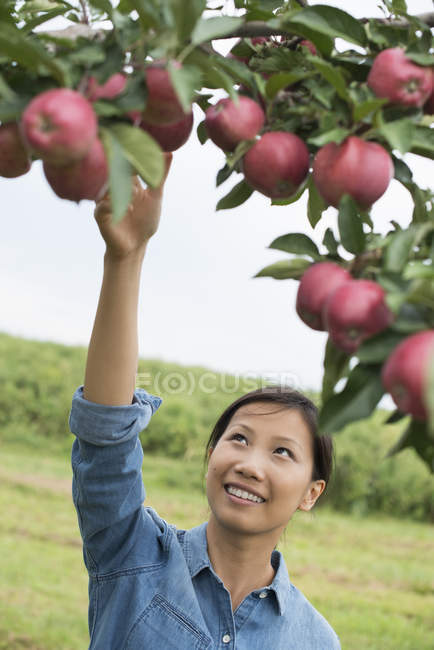 Woman picking the ripe apples. — Stock Photo