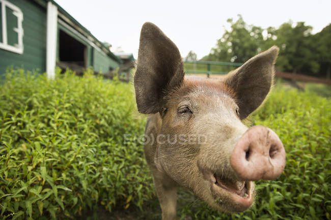 Pig at organic farm — Stock Photo