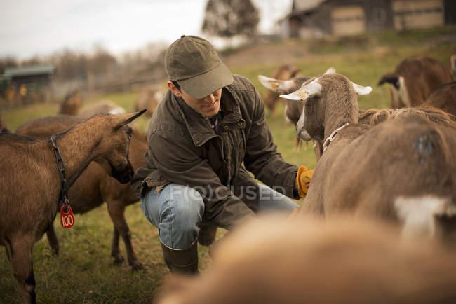 Male farmer tending goats — Stock Photo