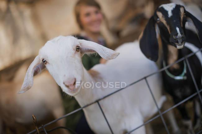 Chèvres blanches et noires. — Photo de stock