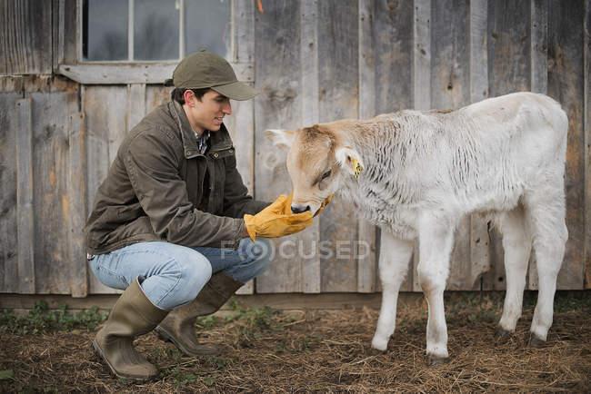 Männliche Landwirt neigende Kalb — Stockfoto