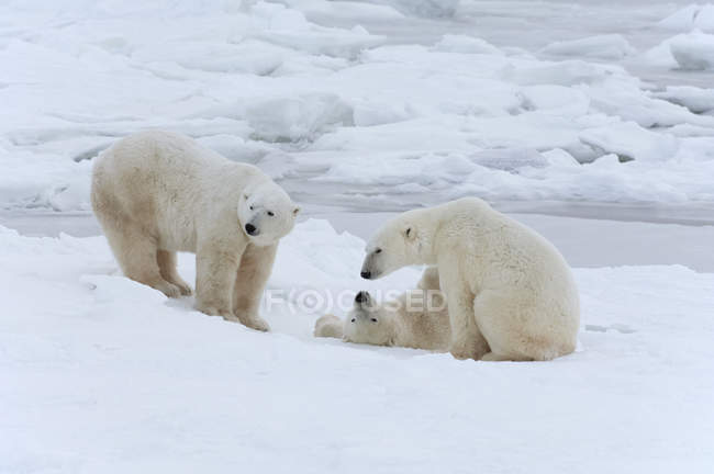 Polar bears in the wild. — Photo de stock