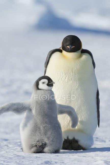 Empereur pingouin avec poussin pingouin moelleux — Photo de stock