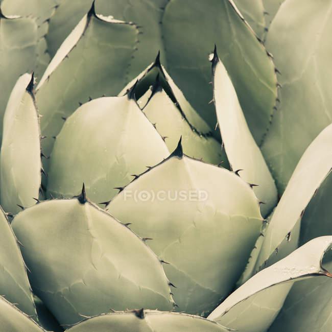Agave Kaktus Pflanze — Stockfoto